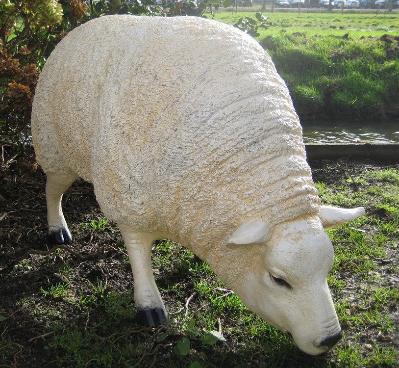 Texels Schaap grazend - levensgroot - wit